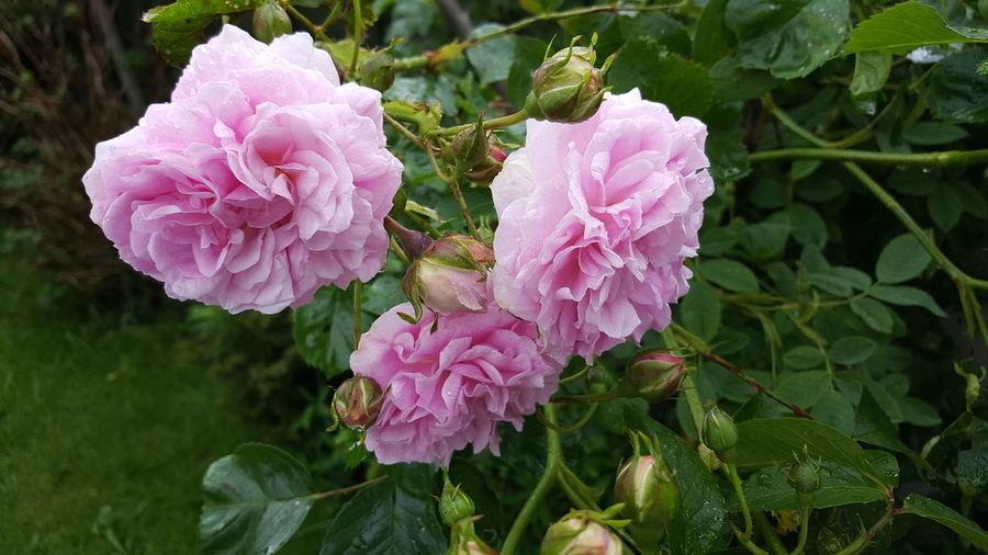 Flowers Rose - Flower Roses🌹 First Eyeem Photo