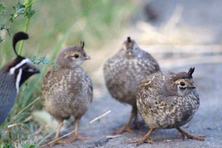 EyeEm Selects Quail Bird Animal Themes Animals In The Wild Field Focus On Foreground Day No People Young Bird Outdoors Nature Close-up Sparrow Baby Quail Victoria Yyj CRD Victoria Bc Nature