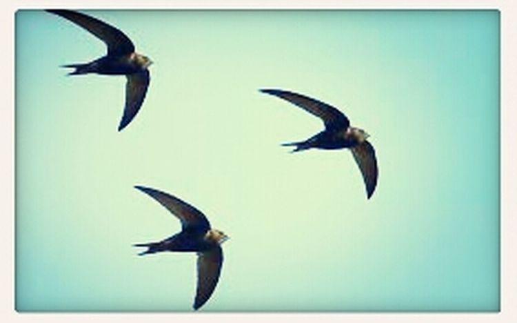 August Swifts