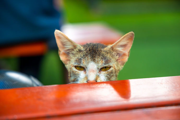 Portrait of cat by table