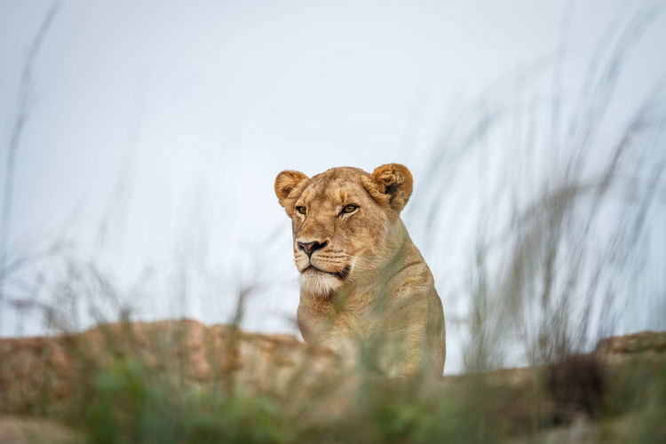 Low angle view of lioness on land