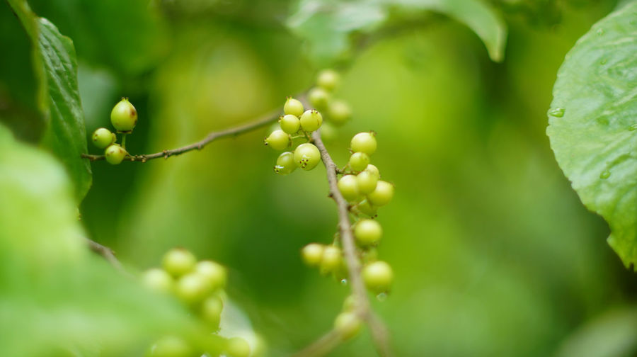 Plum of Martinique Batoko Plum Beauty In Nature Bokeh Photography Close-up Flacourtiaceae Fruit Green Color Nature No People Outdoors Rukam Masam