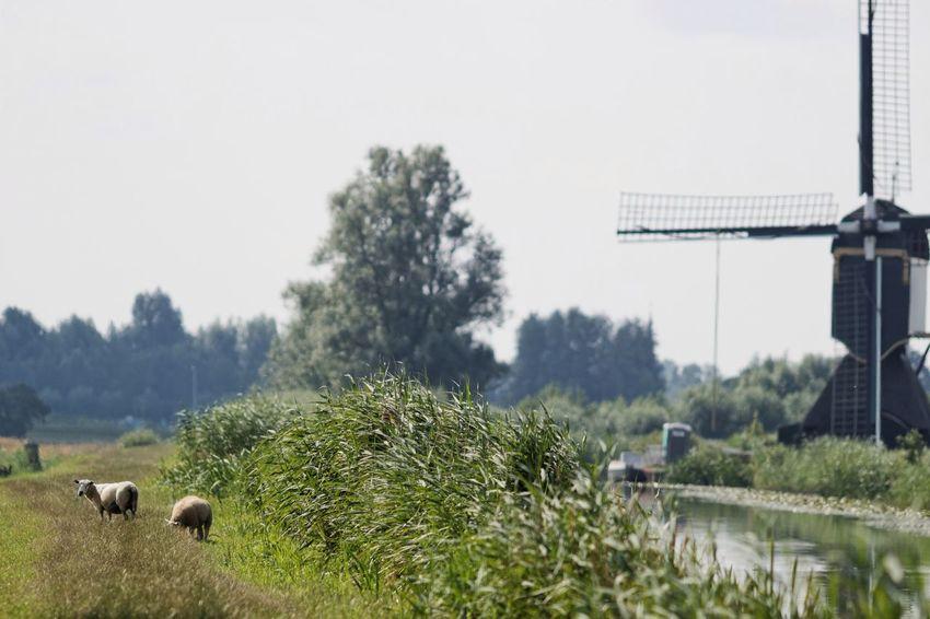 Sheep Windmill Dof Dutch Countyside