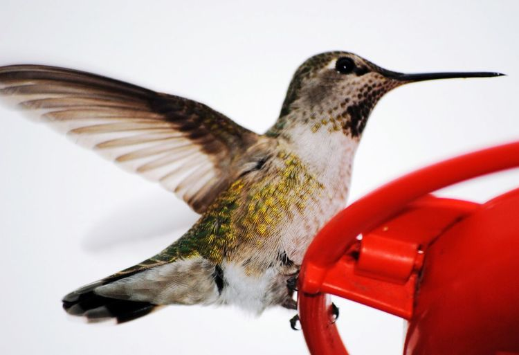 Close-up of hummingbird flying by feeder