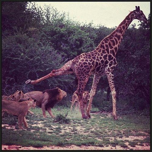 zürafanın tekmesi aslanı öldürebilir Zürafa Aslan Vahşiyaşam Graffe lion wildlife animal