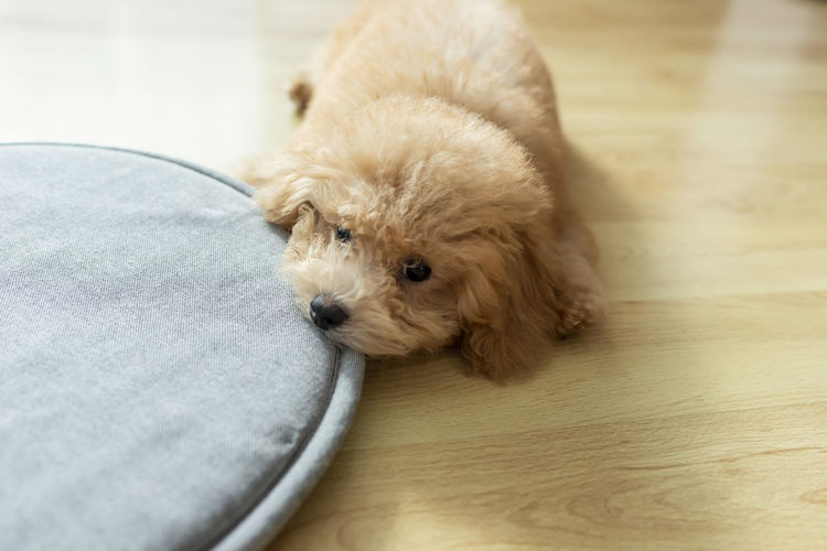 Close-up of cute puppy relaxing on floor at home