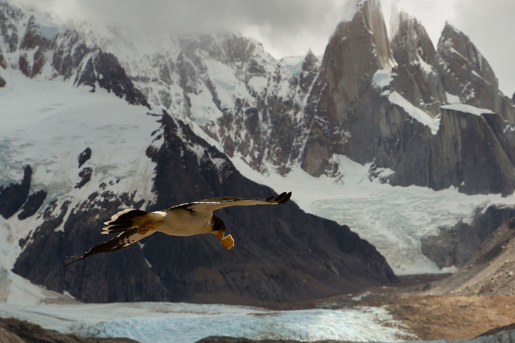 Bird Flying Against Snow Covered Mountains