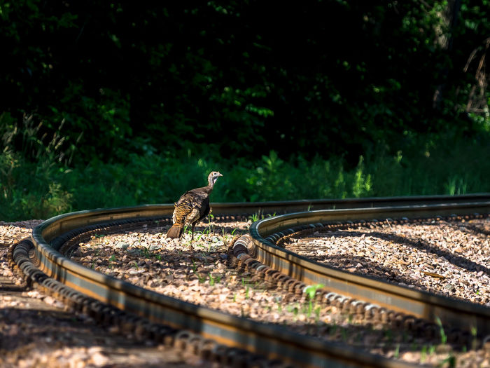 Bird on railroad track