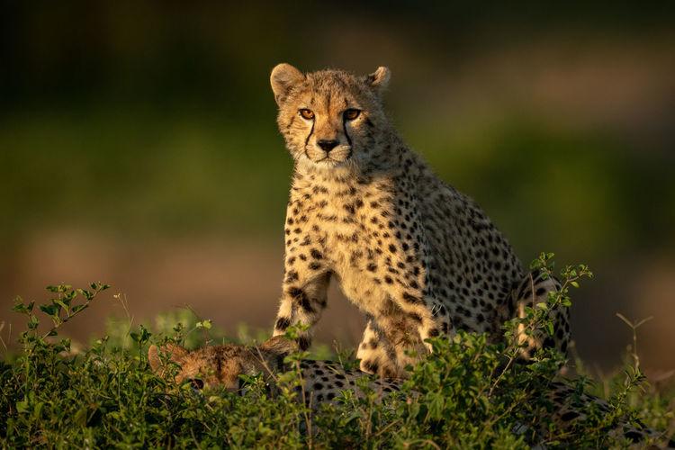 Full length of cheetah on land