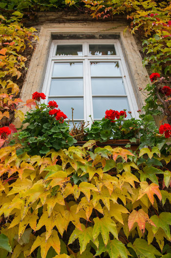 Orange ivy on house with white window Window Plant Part Leaf Architecture Built Structure Building Exterior Building Plant House Day Growth Nature No People Flower Green Color Flowering Plant Autumn Yellow Outdoors Beauty In Nature Window Frame