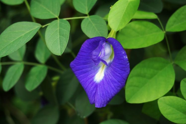 Butterfly Pea Leguminosae Natural Nature Beauty In Nature Bloom Blooming Blossom Blue Blue Pea Botany Clitoria Ternatea Close-up Creeper Plant Day Flora Floral Flower Flower Head Foliage Fragility Freshness Garden Growth Ivy Leaf Leaves Nature No People Outdoors Periwinkle Petal Petunia Plant Purple Vine