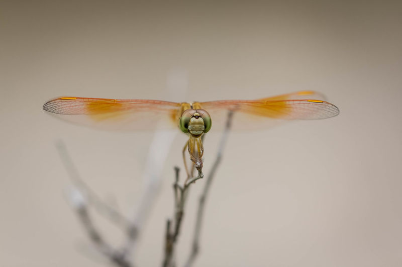 Close-up of dragonfly over white background