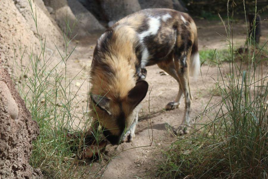 One Animal Animal Animal Themes Dog No People Outdoors Close-up Wlid Dog Wildlife Wilddogs Nature