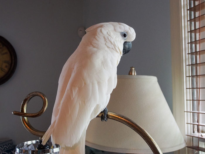 Clara the cockatoo Cockatoo Animal Themes Animal Wildlife Bird Brass Close-up Day Exotic Pets Indoors  Lamp Letter E Mammal No People One Animal Parrot Perching White Color
