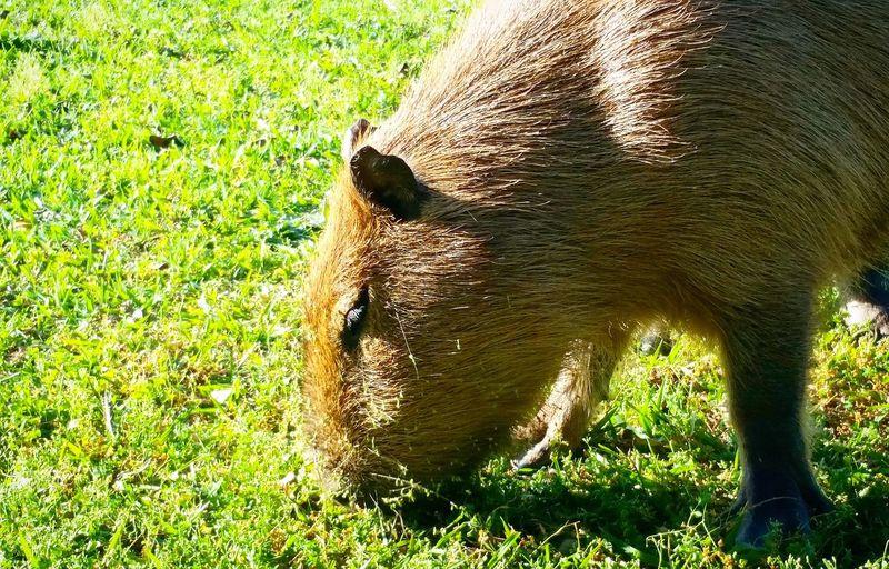 Grass Field Day Nature No People Outdoors Animals In The Wild One Animal Animal Themes Green Color Sunlight Shadow Animal Wildlife Mammal Capibara Capybara Capivara