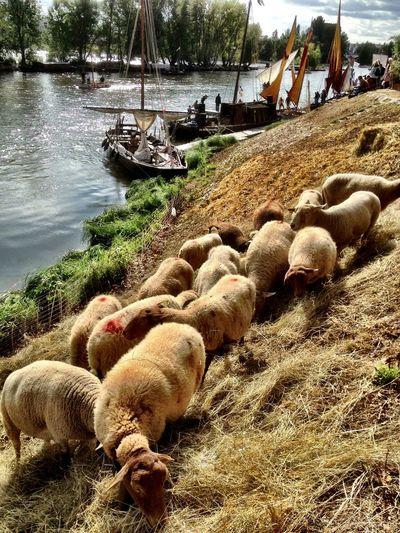 Sheep Riverbank Loire Orléans