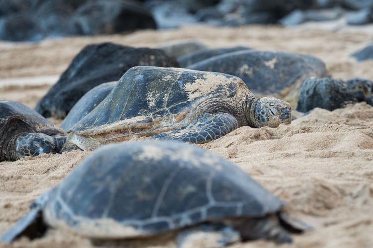 Animals In The Wild Hawaii Hawaii Life Turtles Beauty In Nature Sea Turtle Nature Turtle Sand Beach Reptile Animal Themes Animal Wildlife Maui