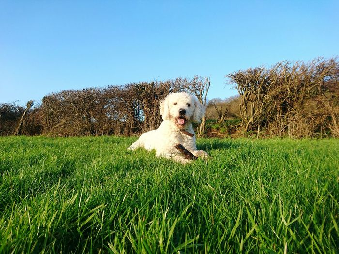 Portrait of cute dog relaxing on grassy field against clear sky