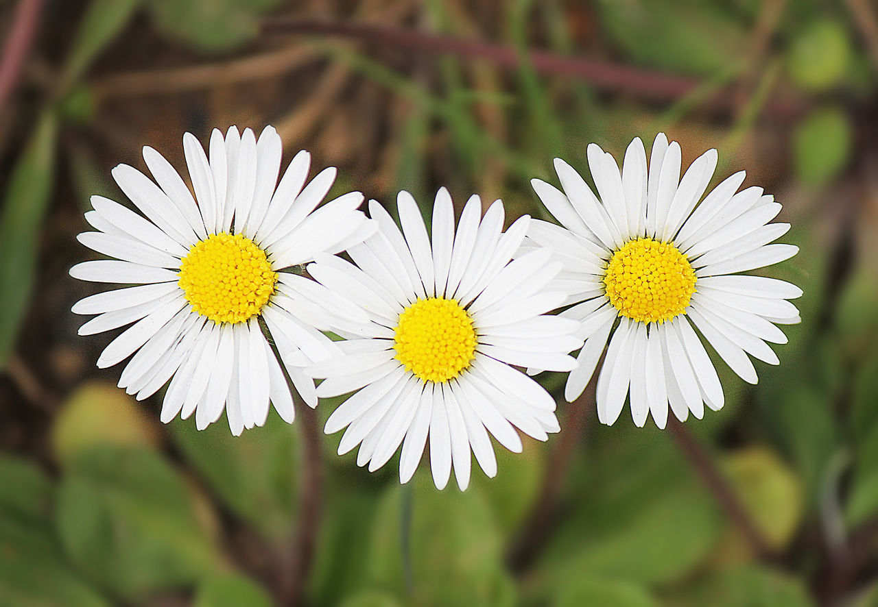 flower, flowering plant, plant, fragility, vulnerability, freshness, growth, focus on foreground, beauty in nature, close-up, white color, petal, yellow, flower head, daisy, inflorescence, pollen, nature, day, no people, spring