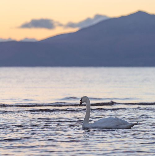 Swan Mountains Animals In The Wild Sea Scotland Beauty In Nature Outdoors Tranquil Scene Peace Calm Scottish Isles No People Clyde White Bird Swimming Animal Themes Animal Wildlife Sky Autumn Swans ❤