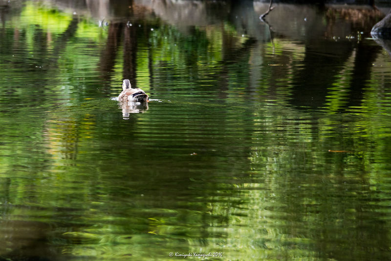 緑に囲まれた池で優雅に泳いでいました Bird Birds Bird Photography Birds_collection Nature Nature_collection Pond Water Water Reflections Reflection Olympus Olympus Om-d E-m10