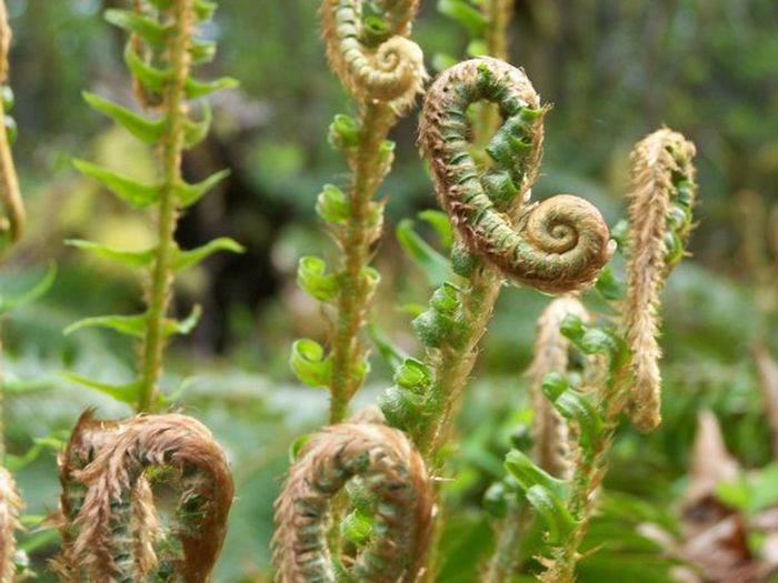 Beauty In Nature Botany Close-up Day Fiddleheads Focus On Foreground Fragility Green Green Color Growing Growth Natural Pattern Nature No People Outdoors Plant Selective Focus Stem Tranquility