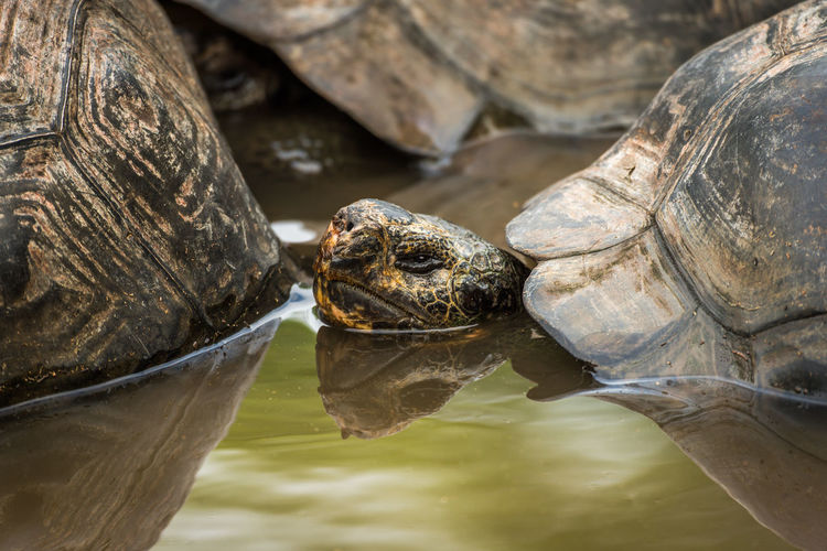 Close-up of giant tortoise in water