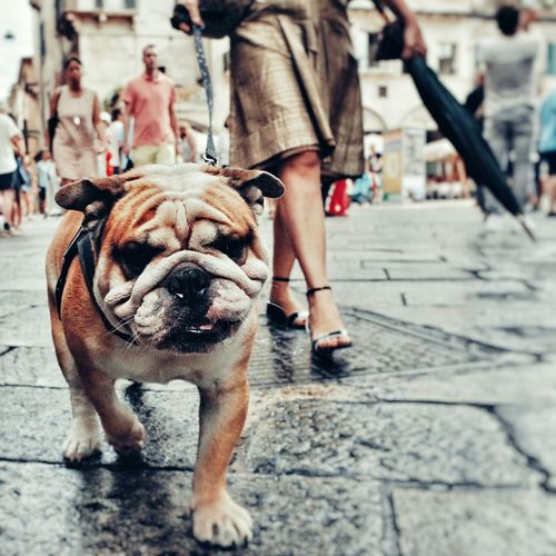 Close-Up Portrait Of Bulldog Walking With Owner On Street