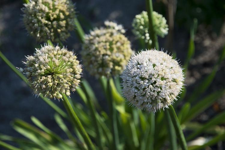 Close-up of allium flowers at park