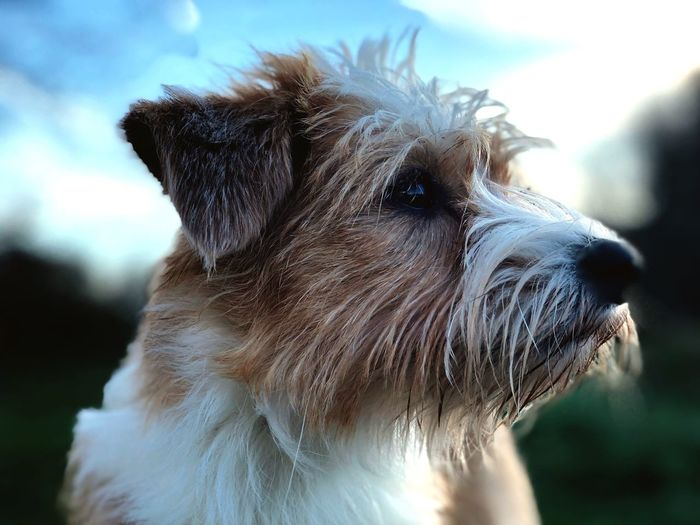 Dog Pets One Animal Domestic Animals Animal Head  Portrait No People Kromfohrländer F1 Wirehaired Focus On Foreground Dog Love Dog❤