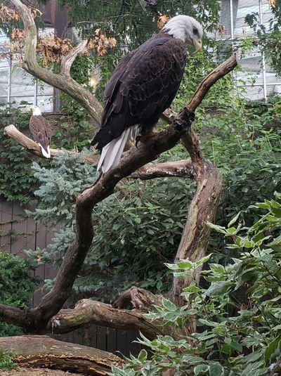 National Aviary Aviary Tourism Tree Trunk Log Eagle Eagle - Bird Bald Eagle Two Animals Pennsylvania Pittsburgh Tranquil Scene Beauty In Nature Wildlife Wildlife & Nature Beautiful Bird Perching Tree Bird Of Prey Branch Animal Themes Scenics
