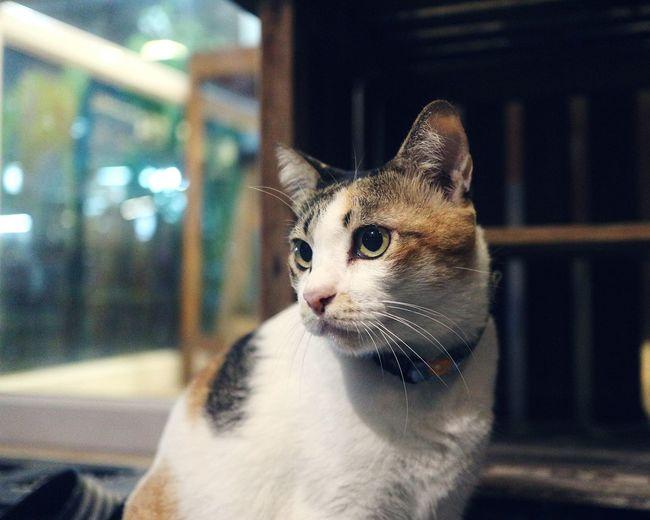Pets Mammal Domestic Cat One Animal Cat Cat Lover Thai Cats Three Colours Three Colors Three Coloured Cat CatsDomestic Animals Feline Catportrait