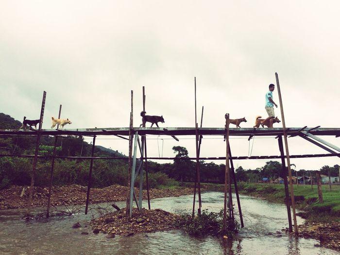 Hello World Vietnam Dog Bridge Stream lon ton lon ton chạy qua cầu.....!