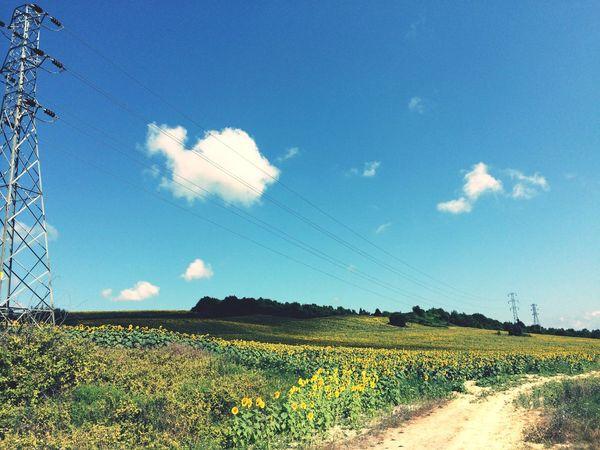 Landscape Sunflower Bluesky