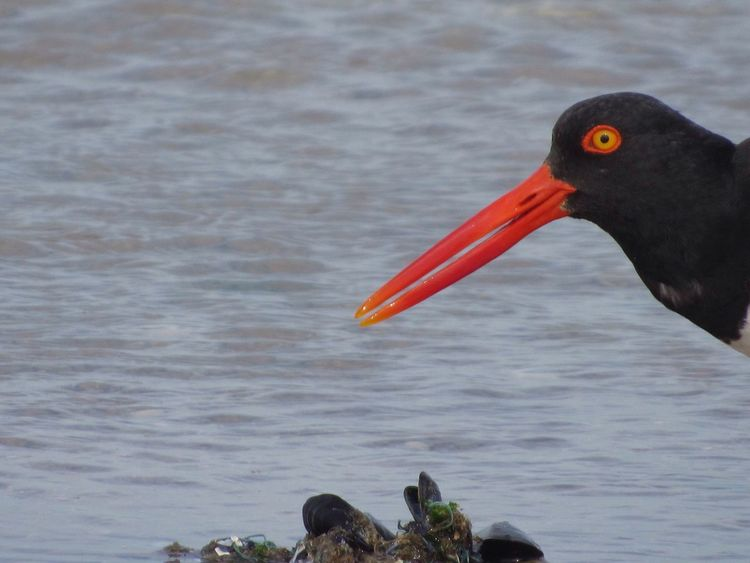 Bird Bird Photography Bird Birds_collection Birds Of EyeEm  Beach Beach Life Bird On The Beach Bird Eating No Edit/no Filter Oystercatcher Oystercatcher Bird Yellow Eyes Ocean Background Water Background