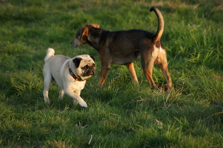 Dog Pets Grass Domestic Animals Animal Themes Mammal Field No People Outdoors Togetherness Day Nature Pug Cute Pug Pug Life