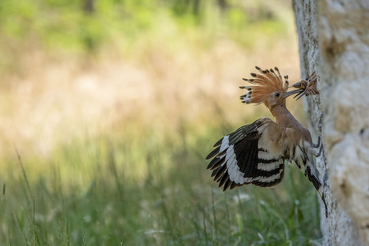 Animal Animal Themes Animal Wildlife Animals In The Wild Beauty In Nature Bird Day Field Flapping Focus On Foreground Grass Hoopoe Hoopoe Bird Land Nature No People One Animal Outdoors Plant Spread Wings Tree Trunk Trunk Vertebrate Woodpecker