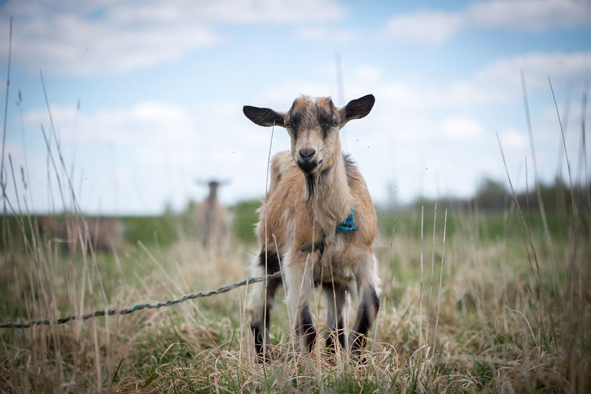 Agriculture Animal Themes Beauty In Nature Business Finance And Industry Cattle Breeding Day Domestic Animals Field Goat Grass Latvia Mammal Nature No People One Animal Outdoors Pasture Pets Portrait Sky Work