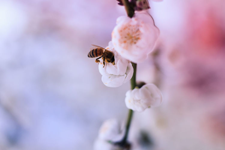 Animal Themes Animals In The Wild Beauty In Nature Bee Buzzing Close-up Day Flower Flower Head Focus On Foreground Fragility Freshness Growth Insect Nature No People One Animal Outdoors Petal Plant Pollination Selective Focus White Color