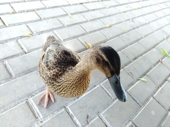 High angle view of duck on sidewalk