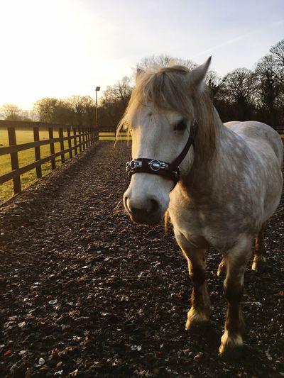 Highland Pony Horse Domestic Animals Animal Themes One Animal Mammal Livestock Day