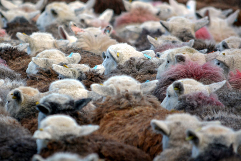 Herdwick Herdwick Flock Herdwick Sheep Sheep Wool Animal Themes Bird Chicken - Bird Close-up Day Domestic Animals Large Group Of Animals Livestock Mammal Nature No People Outdoors Sheep Sheep Farm Sheeps Sheep🐑 Young Bird