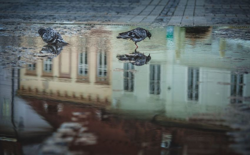 Old town Sibiu Romania Sibiu, Romania Travel Destinations Tranquility Reflection Pigeon Water Reflection Architecture Wet No People Built Structure Animal Building Exterior Animal Themes Puddle City Transportation Selective Focus Street Building
