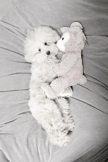 Pet I Love My Dog My Toypoodle Dog Toypoodle Disney Cutedogs Duffy DogLove Poodle Love