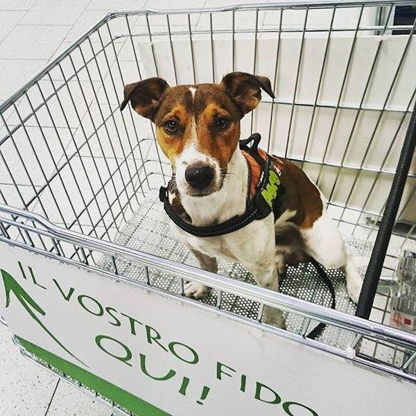 Mamy ni buy? 🐶 🐶 😁 😁 Jrt Jrtpost Jackrussell Jackrussellterrier Mydog Mydog♡ MyDog💓 MyDogMyLifeMyLoveMyLive Dog❤