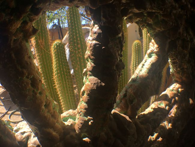 Growth Nature Sunlight No People Cactus Day Plant Outdoors Beauty In Nature Saguaro Cactus Wagon  Wagon Wheel Desert Western Pioneer Frontier Succulents Desert Beauty Mojave Desert Joshua Tree National Park
