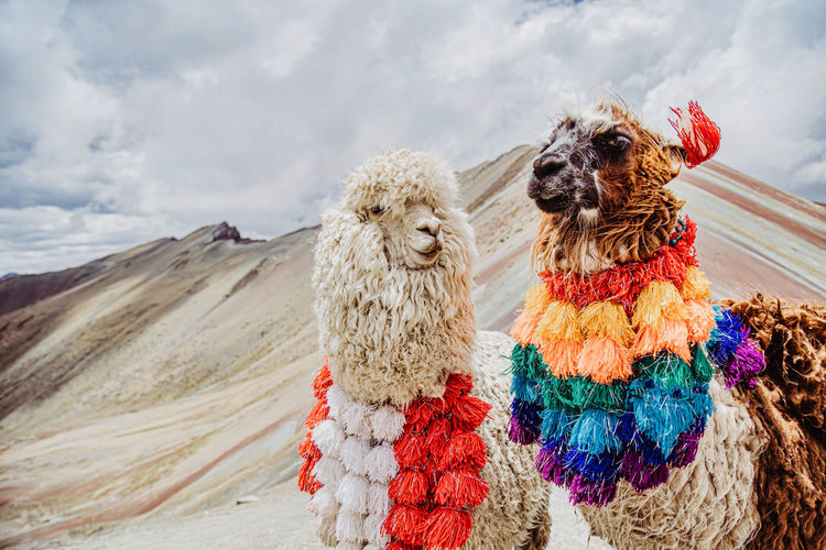 A view of two llamas of peru on the rainbow mountians