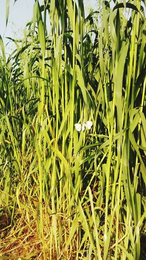 #butterflies #myclick Backgrounds Full Frame Agriculture Field Cereal Plant Close-up Grass Plant Green Color First Eyeem Photo