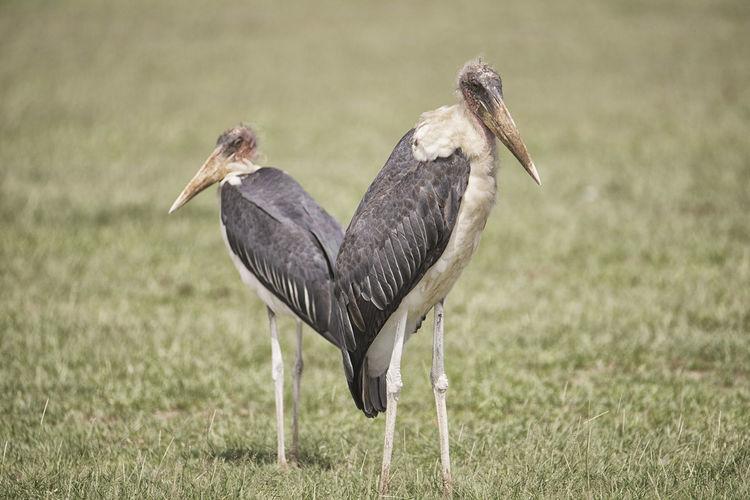 Two herons on field