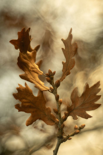 Oak Autumn Leaves Tree Twig Branch Branches Bokeh